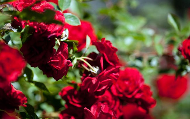 Valentine climbing rose