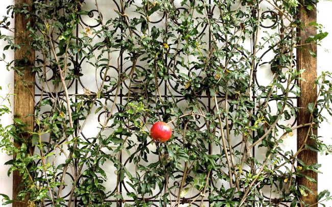 Espaliered pomegranate