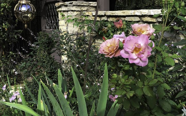 Roses, iris, gaura, salvia, and pendant lanterns