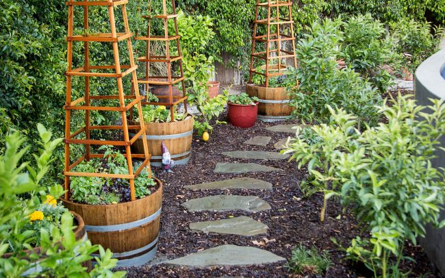 Hedge, tomato towers, and garden plantings