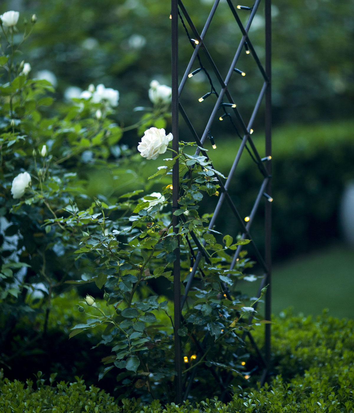 White roses on a custom trellis