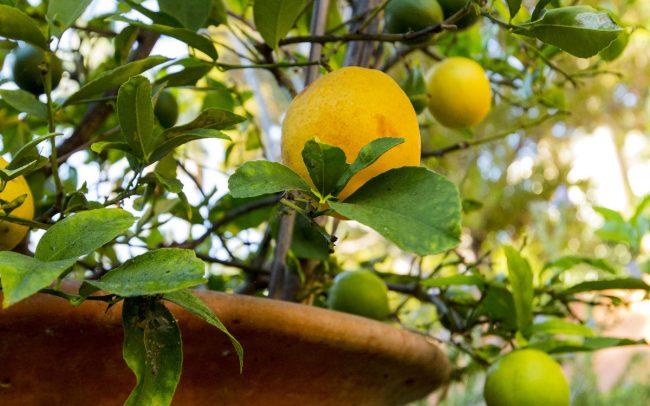 Myer lemons in Tuscan terracotta pot