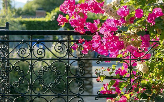Bougainvillea on wrought iron fence