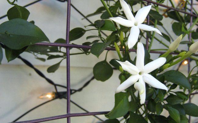 Jasmine vine