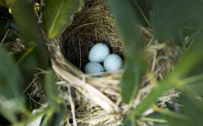 Bird's nest in Laurus nobilis bay tree